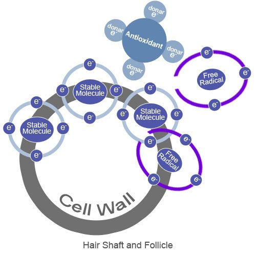 Figure6_Free_Radical_Damage_Contributes_to_Hairloss