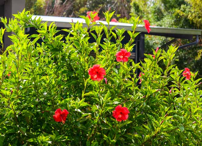 Topical oil made from Chinese hibiscus may promote hair growth, especially when combined with valerian.