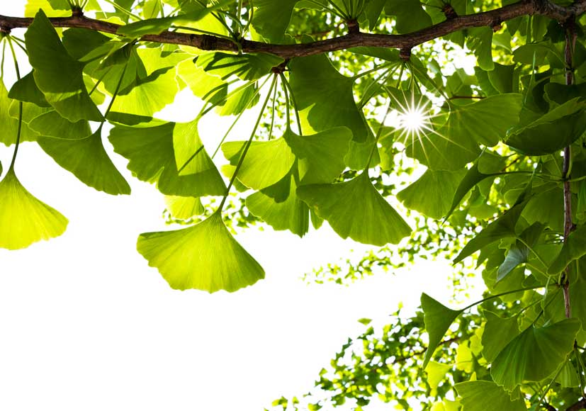 Topical gingko may help with thinning hair.