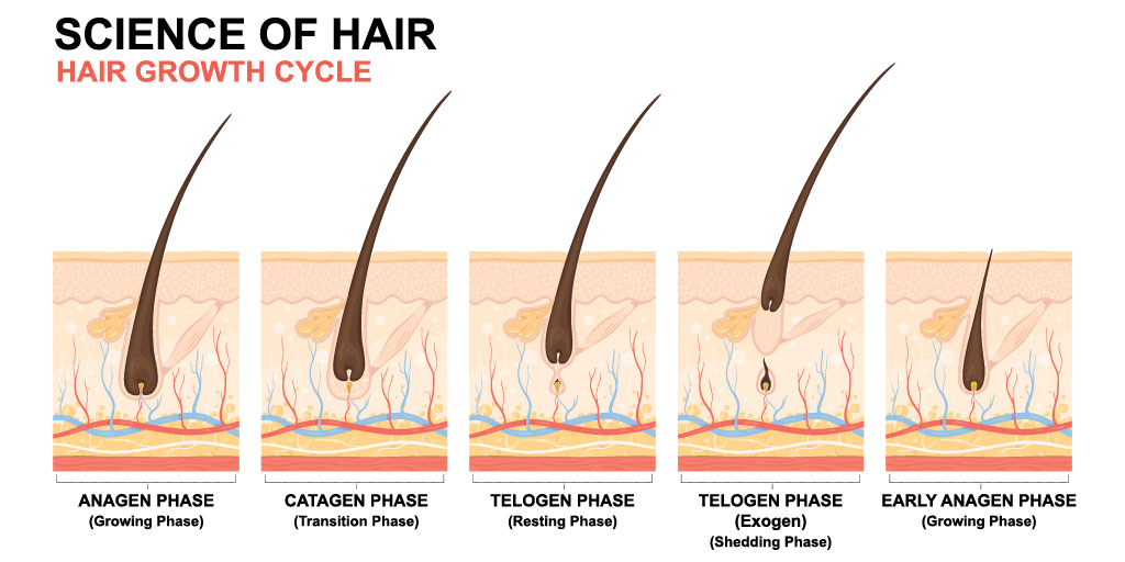 What are the anagen, telogen, and catagen phases of hair growth?