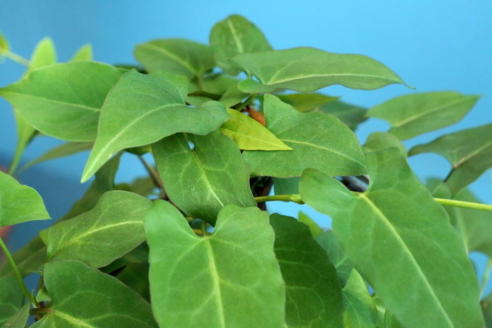 He shou wu, or Chinese knotweed, is an herb used by Traditional Chinese Medicine to treat thinning hair.