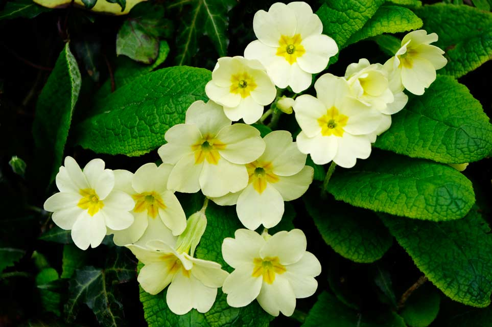 Leaves from primrose plants may help treat alopecia areata.