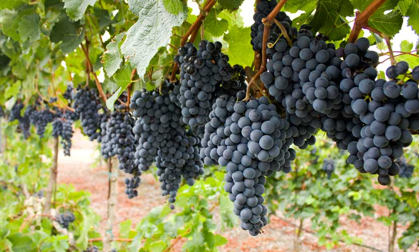 Compounds in grapes, grape seeds, and even grape leaves may help treat all types of hair loss.